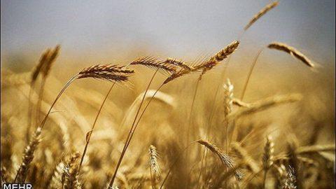 روند خودکفایی گندم ادامه دارد/برای سال ۹۷هم نیازی به واردات نیست