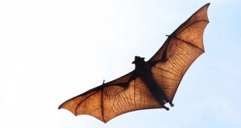 خفاشها ناقل ویروسهای بعدی به انسان هستند