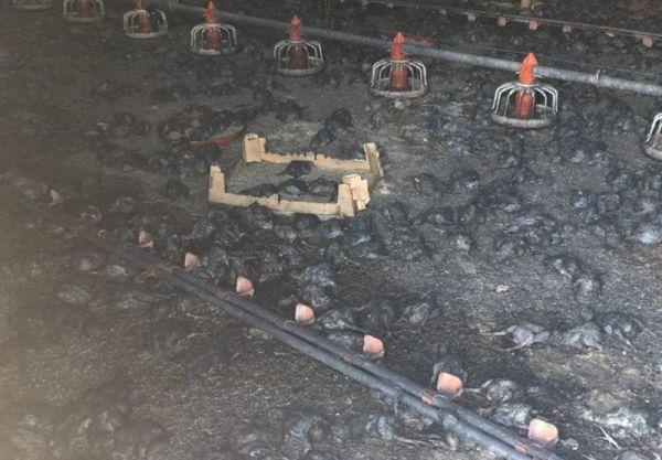 مرغداری-در-شهرستان-رامیان-در-آتش-سوخت/-تلفشدن-۳۵-هزار-جوجه-در-آتش