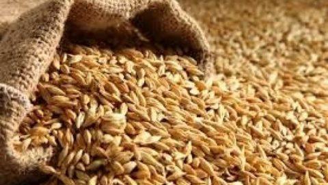 واردات قطعی گندم به کشور ممنوع است