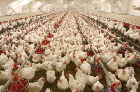 دلایل نابسامانی قیمت مرغ در بازار چیست؟
