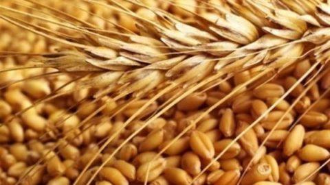 واردات گندم ممنوع شد