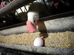 با وجود آنفلوآنزا، مرغ و تخممرغ بخوریم؟!